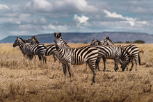 Group Of Zebras Grazing In The...
