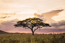 Acacia Tree Against Colourful ...