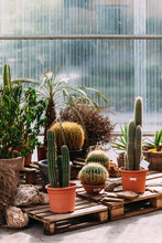 Still Life With Several Cactus...