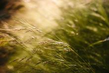 Ornamental Grasses In Morning Light.