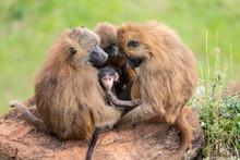 Family Baboon