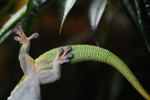 Close Up Of Legs And Tail Of Gecko On Glass