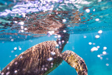 Green Sea Turtle Swimming In Sea