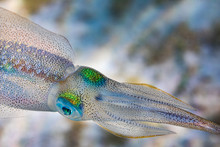 Small Squid Swimming In Sea