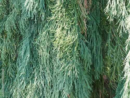 Fényképezés Sequoiadendron giganteum 'Pendulum' | Aiguilles écailleuses vert-bleuté et retom