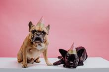 Two French Bulldogs Wearing Pa...