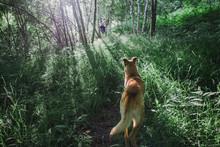 Big Orange Dog Looks His Human...