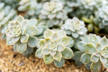 A Row Of Wet Succulent Plants, With Varying Focus