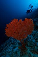 Sea Fan Growing Undersea With Scuba Diver In Background