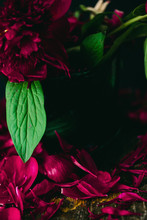 Dark Burgunfy Peonies In A Vase Loosing Their Petals On Wooden Table
