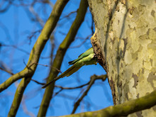 Ring Necked Parakeet , Rose-ringed Parakeet (Psittacula Krameri) Perched On Nest Hole In A Tree