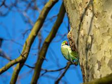 Ring Necked Parakeet , Rose-ri...