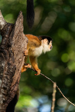 Profile Of A Squirrel Monkey I...