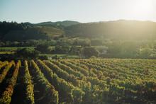 Grape Vineyards Line Rolling H...