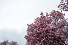 A Blooming Pink Cherry Blossom...