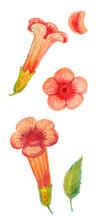 Orange Flowers And Campsis Vin...
