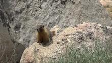 Wild Marmot On Granite Boulder...
