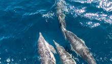 Dolphin Near Ventura County, C...