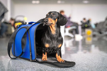 Obedient Dachshund Dog Sits In Blue Pet Carrier In Public Place And Waits The Owner. Safe Travel With Animals By Plane Or Train. Customs Quarantine Before Or After Transporting Animals Across Border.