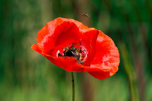 A Red Poppy On The Green Backg...