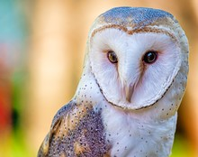 Closeup Shot Of A Cute Barn Owl With A Colorful Blurry Background