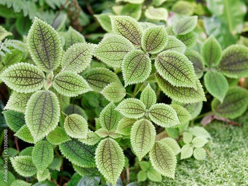 Fotografie, Obraz Pilea mollis is a species of flowering plant in the family Urticaceae