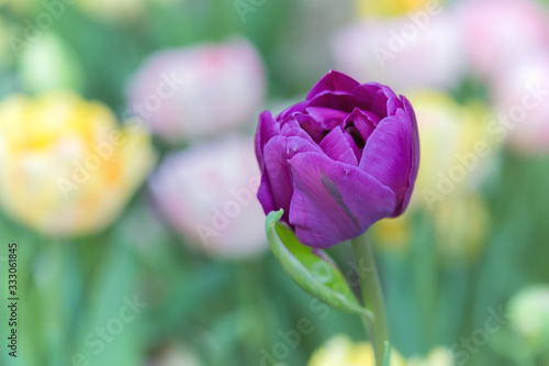 Beautiful Tulip on a Spring Afternoon