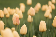 Beautiful Tulips On A Spring A...