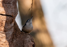 White Breasted Nuthatch On A T...