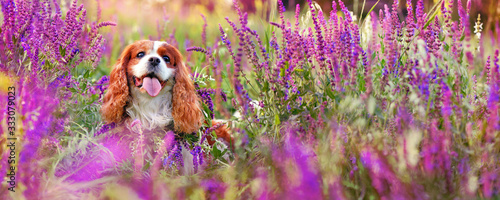 Photo Wide banner with king charles spaniel at the blooming meadow