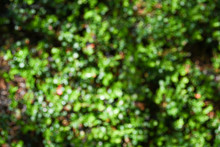 Dense Thickets Of Bushes, Green Leaves Of Plants And Grass As Background Bokeh