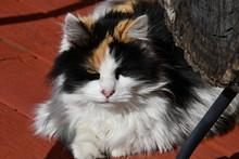 Fluffy Calico Cat