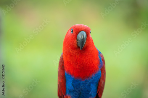 Photo Portrait beautiful colorful Eclectus Parrot with blur nature background