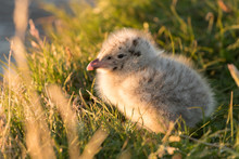 Little Fluffy Gull Chick Is Sitting On The Grass
