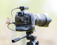 A Chipping Sparrow Photographi...