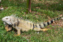 Wild Adult Iguana In A Park Of A Country Town In Colombia.