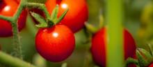 Tomato Fruits Plant, Organic T...