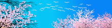 Swans And Blossoming Trees Cro...