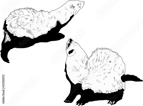 Fényképezés two polecat sketches isolated on white