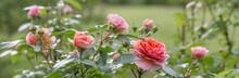 Beautiful Orange Pink Nostalgic Rose In A Garden After Rain