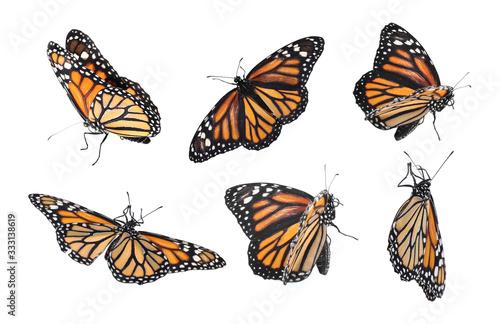 Fotografia Set of many flying fragile monarch butterflies on white background