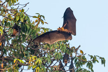 Fruit Bats Flying Foxes