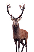 Mature Red Deer Stag Isolated ...