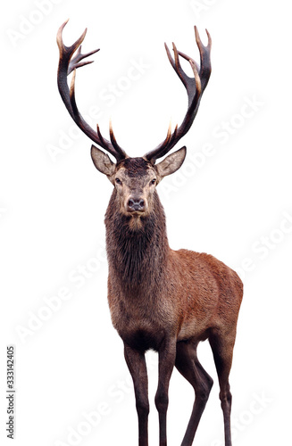 Mature Red Deer Stag isolated on white. Fototapete