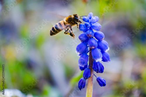 abeille en vol butine une fleur, couleur en été фототапет