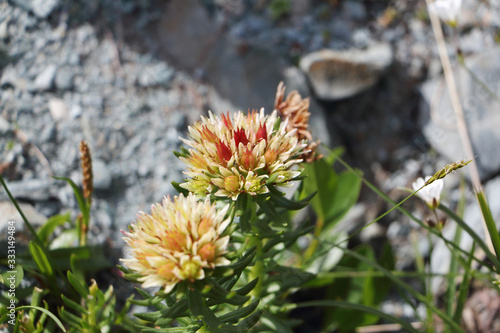 Fotografia Flowers of the Altai Mountains. Rhodiola algida