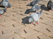 Hungry Fat Pigeons In A Herd A...