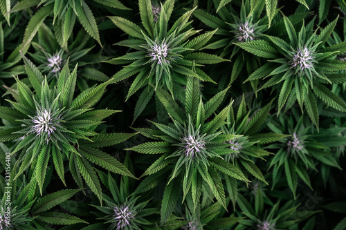 Fototapeta Beautiful green leaves of marijuana close up obraz