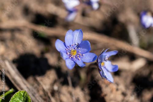 Close-up of wild spring violet flower