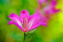 Beautiful Blooming Phanera Pur...